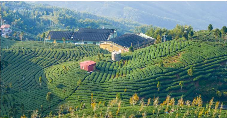 Vườn cam Yên Minh